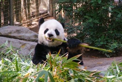 Panda Bear enjoying his food