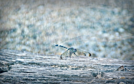 Dragon fly on a log
